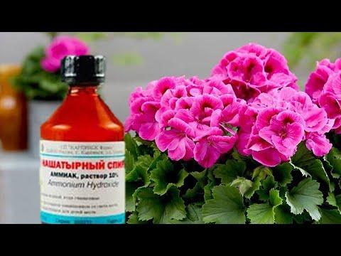 Нашатырный спирт для комнатных растений. Плюсы и минусы применения нашатыря.