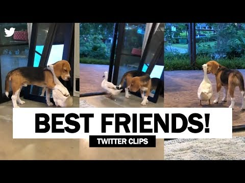 This Dog And Duck Are Best Friends | Viral On Twitter!