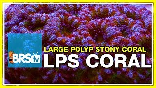 Week 36: Large Polyp Stony corals! LPS selection, care, & placement | 52 Weeks of Reefing #BRS160