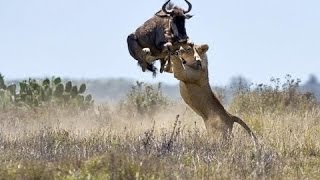 ► OVERCOME DEATH!! - BULL BUFFALLO vs LIONS - (Lions Documentary) NAT GEO WILD | HD