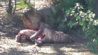 Male Lions On Baby Hippo Kill.
