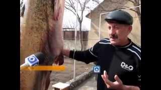 Смотреть онлайн В России мужчина выловил огромнейшего сома