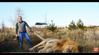 ПОПРОБУЙ   ПОВТОРИ !!! Как поднять 300 килограммового  льва !