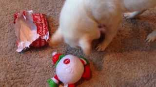 Japanese Shiba Inus opening their Christmas gifts (Part 2)