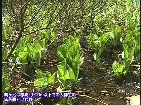 清楚な白い花 縄ヶ池の水芭蕉