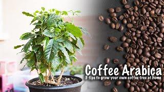 How to grow coffee tree | 5 tips to grow coffee tree at home Coffee Arabica | GreenMangoes