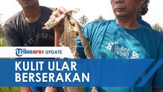 1 Orang Digigit, Warga di Cianjur Buru Ular Kobra Malah Temukan Kulit Berserakan di Area Persawahan