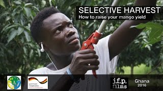 Selective Harvest - How to raise your mango yield