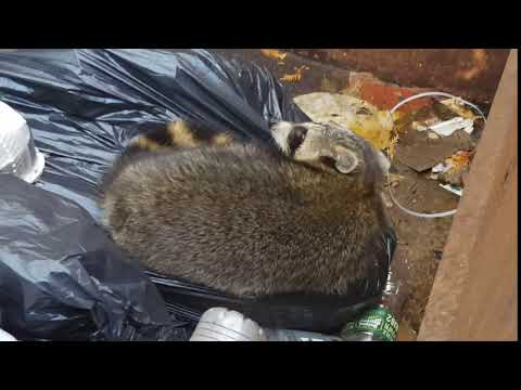 "While recently servicing a Cowleys commercial account in Colts Neck, NJ, I needed to throw something away in the dumpster. Often, for pest and wildlife technicians, there is often an unexpected ""surprise"" waiting for you around the corner. And this day was no exception. While at the dumpster, I observed a full-grown raccoon fast asleep on top of the trash. The fact that the raccoon was asleep did not surprise me.  Since raccoons are nocturnal, they are most active at night. However, what was quite surprising to me was the raccoon's choosing a dumpster to get some shut-eye. Normally, for protection and privacy reasons, raccoons will nest up in trees at higher elevations. This is why raccoons that have invaded human habitats often choose to stay in private, warm, cozy attics. This particular raccoon, however, seemed perfectly content to rest inside a dumpster despite all of the surrounding activity. 