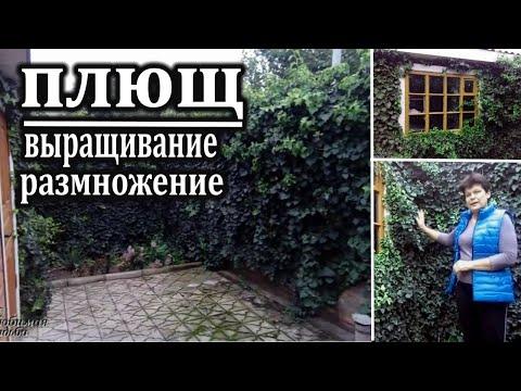 Плющ садовый вечнозеленый: описание, выращивание, размножение
