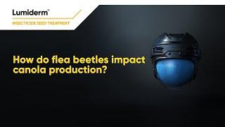 How do flea beetles impact canola production