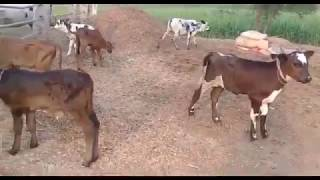 cow buffalo - 免费在线视频最佳电影电视节目 - Viveos Net