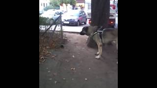 kangal vs pitbull