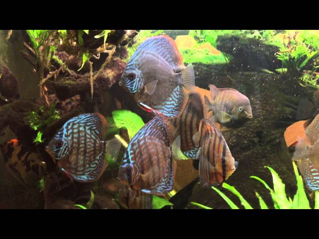 Updated video of my 5 foot discus fishtank aquascape(tank been running now for 7 months)