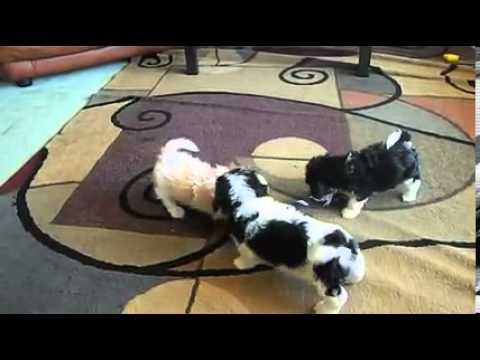 Cavachons playing together