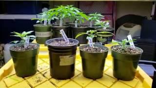 Feeding cannabis seedlings