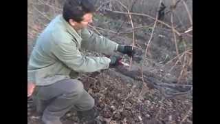 Обрезка старого запущенного куста винограда видео