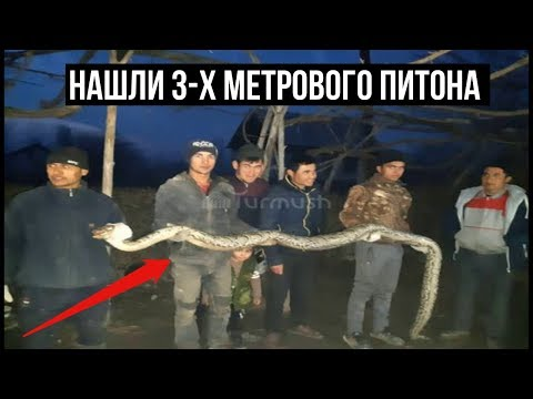 На узбекско-кыргызской границе нашли 3-х метрового питона