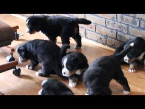 Bernese Mountain Dog puppies at 4 weeks