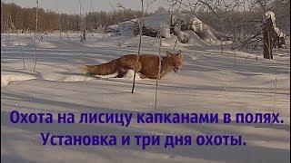 Ловля лисы капканами зимой 2018