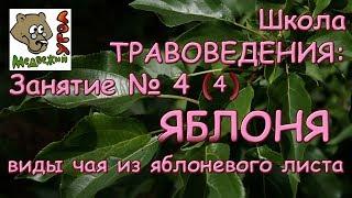 Школа ТРАВОВЕДЕНИЯ: Занятие № 4 (4) -ЯБЛОНЯ: виды чая из яблоневого листа