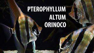 480l - Zatopiony las Pt. Altum Orinoco - Oman