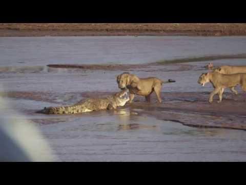 Her angriper tre løver en krokodille