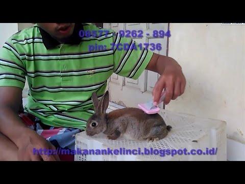 Video Ternak Kelinci - Cara Merawat Kelinci