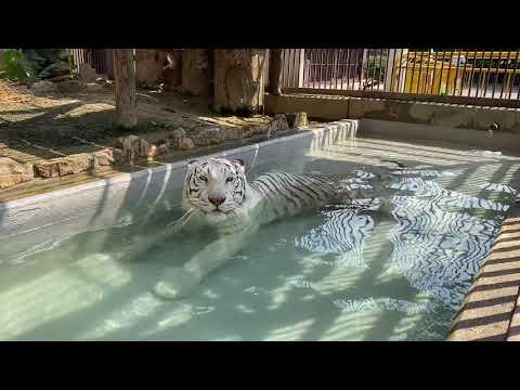 【池田動物園公式】プール内でプカプカしているサンちゃん