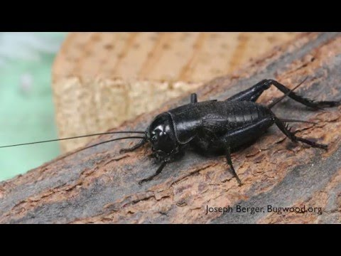 How to Get Rid of Crickets - DIY Pest Control