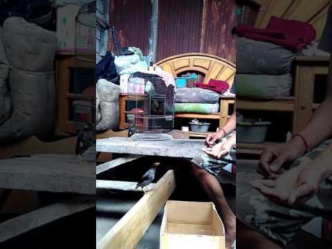 Video Tips cara menjinakan jalak kebo