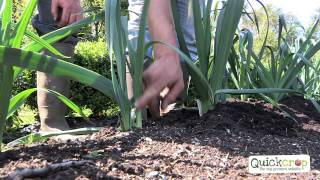 How To Grow Leeks - An Easy To Follow Guide