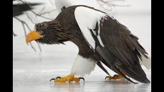 Орлан белоплечий - крупнейший хищник планеты. Animals & fish.