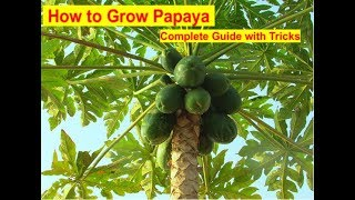 How To Grow Papaya :- Complete Guide With Tips!!