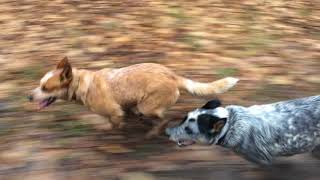 Australian Cattle Dogs - Johnsons Heelers Spot Some Deer