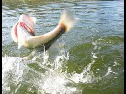 Unbelievable Topwater Bass Fishing