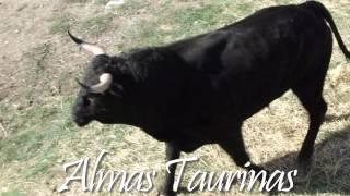 preview picture of video 'encierrro por el campo Valfermoso de Tajuña 13-10-2012.'