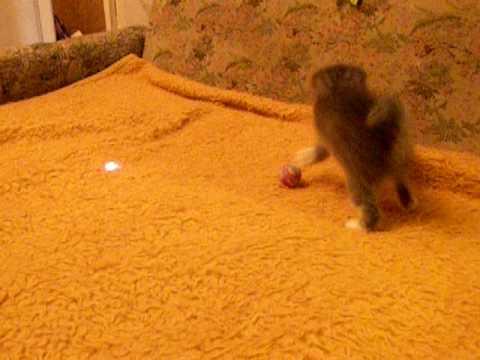 Котенок игруля по имени Люля