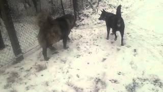 Кавказская овчарка против метиса овчарки