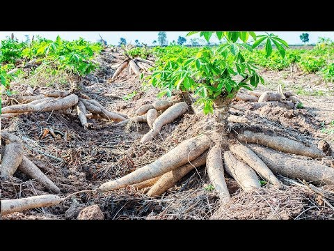 , title : 'Asian Agriculture Technology Farm - Cassava Cultivation Farming and Harvesting