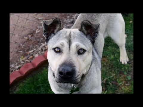 Keanu, an adoptable Siberian Husky & Labrador Retriever Mix in Pasadena, CA