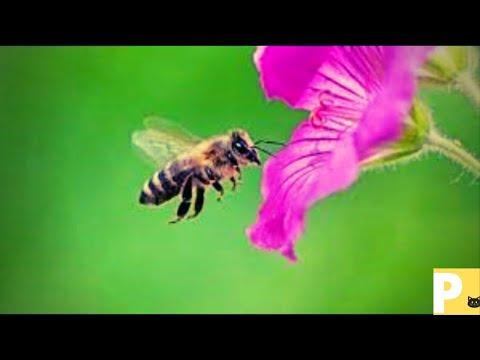 Abelha#somdeabelha#abejas#beesound#beesoundeffect#zumbidodeabelhas#E7dh#bee