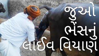 પશુના વિયાણ વખતે શુ કાળજી લેશો... #buffalo_delivery_live #dairy_farming_india