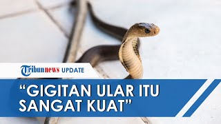 Kobra yang Tewaskan Yayan Menempel di Jari Tengah Korban, Ketua RT: Gigitan Ular Itu Sangat Kuat