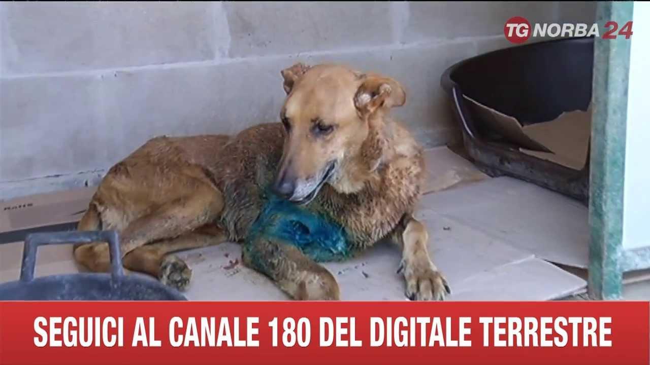 La cagnetta che si fece massacrare da 5 rottweiler per salvare un bimbo