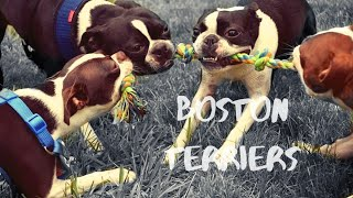 Boston Terriers - This Meetup was HUGE!!! GoPro Hero 7 Black 4K