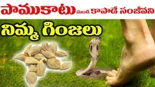 పాముకాటు నుండి కాపాడే సంజీవని నిమ్మ గింజలు..! || Natural Home Remedies For Snake Bites