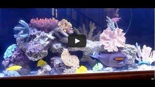 Monster foot long Orange Shoulder Tang, rare Green Leaf Wrasse in 240 gallons saltwater aquarium