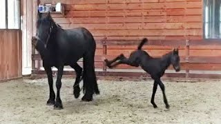 5 Days Old Friesian Horse Filly Mathilde For The First Time At The Inside Arena, So Cute.....