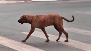 Cachorros ?derrubam? mulheres em Patos de Minas e evidencia problema de animais abandonados na cidade.